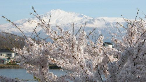 〈にかほ市〉観桜会 ▷県内で最も早く桜が見られる名所