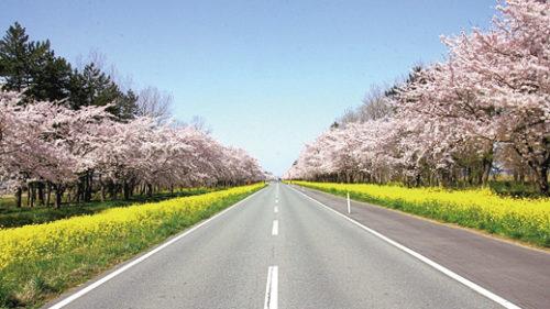 〈大潟村〉桜と菜の花ロード▷ミニSLの運行など多彩なイベントも