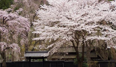 〈仙北市〉角館の桜まつり▷ライトアップで夜桜を楽しめる