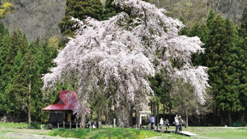 〈湯沢市〉おしら様の枝垂桜 観桜会▷隣接する白山神社にちなんだ愛称