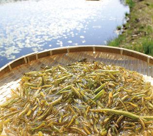 〈三種町〉じゅんさい摘み採り体験▷旬の採れたてじゅんさいを味わって
