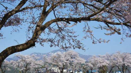 〈美郷町〉平場の森公園▷桜を眺めながら散歩やピクニック