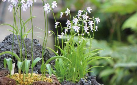 〈上小阿仁村〉山野草展示会▷鮮やかな山野草や寄せ植えを展示