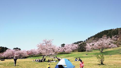 〈八峰町〉八峰町さくらまつり▷JR五能線と桜の写真撮影が人気