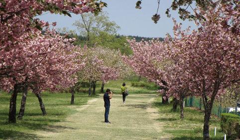 〈由利本荘市〉黄桜まつり▷3週間にわたる本州最終の桜まつり