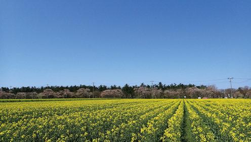 〈由利本荘市〉桜・菜の花まつり▷同時に咲き誇る桜と菜の花をぜひ