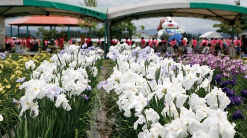 〈横手市〉第38回 浅舞公園あやめまつり▷咲き誇る60万本ものハナショウブ