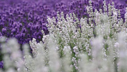 〈美郷町〉美郷町ラベンダーまつり ▷一面を彩る白と紫のコントラスト