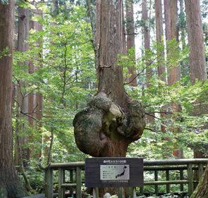 〈上小阿仁村〉天然秋田スギ「 コブ杉」▷静寂な美林に佇む村のシンボル