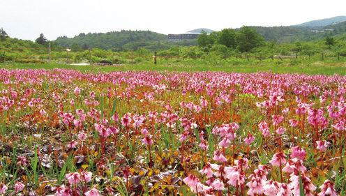 〈東成瀬村〉「須川高原」♪お気楽♪トレッキング▷ワタスゲが揺れる「イワカガミ湿原」