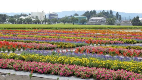 〈横手市〉たいゆう緑花園 ▷約21,000株が咲きほこる花畑