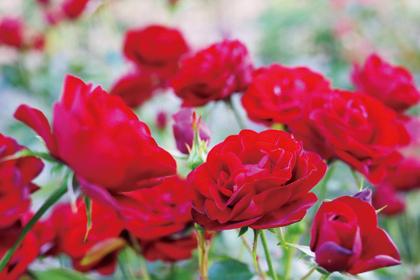 〈大館市〉大館バラまつり シーズン2▷花々が鮮やかに咲き誇る秋の庭園へ
