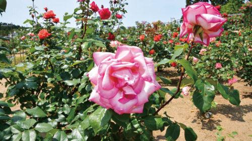 〈井川町〉日本国花苑 バラ園▷多種多様なバラが園内に咲き誇る