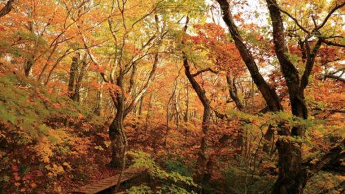 〈にかほ市〉獅子ヶ鼻湿原▷ブナの巨木が群生する神秘の空間