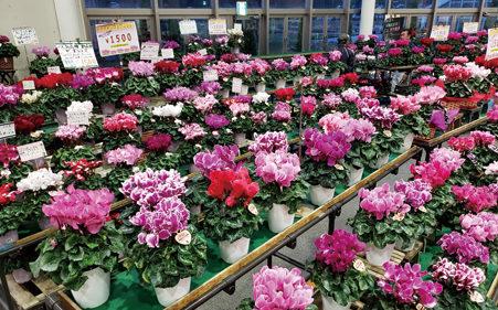 〈潟上市〉シクラメンフェア2019▷冬の室内を彩る花々を展示販売