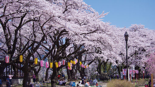 〈大館市〉大館桜まつり▷夜桜も見事な大館の春の風物詩