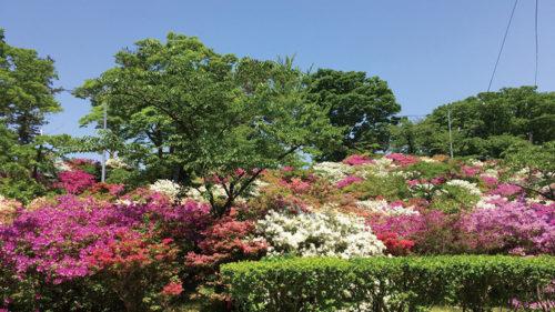 〈能代市〉能代公園・きみまち阪つつじまつり▷美しさにうっとり! 圧倒的な株数のツツジが見もの