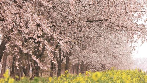 〈大潟村〉桜と菜の花ロード▷息をのむ春の景色を車窓から楽しむ