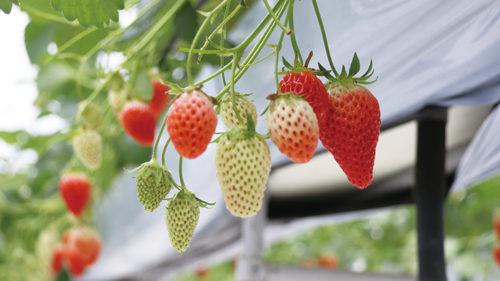 〈羽後町〉こまち野▷真っ赤なイチゴの食べ放題が人気