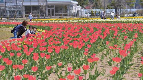 【中止】〈潟上市〉春のチューリップまつり▷彩り鮮やかなチューリップが60,000本咲き誇る