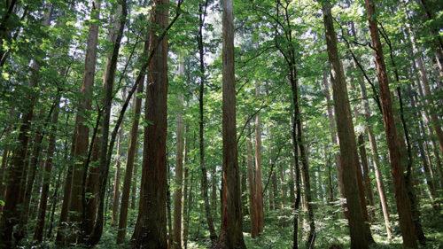 〈上小阿仁村〉上大内沢自然観察教育林▷天然秋田杉の群立は荘厳で圧巻