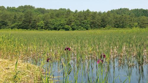 〈大館市〉芝谷地湿原植物群落▷価値の高い湿原植物が数多く自生
