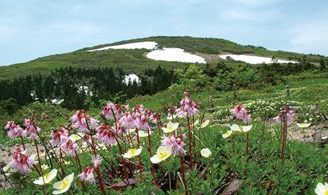 〈北秋田市〉森吉山▷春夏は多彩な高山植物が咲き誇る