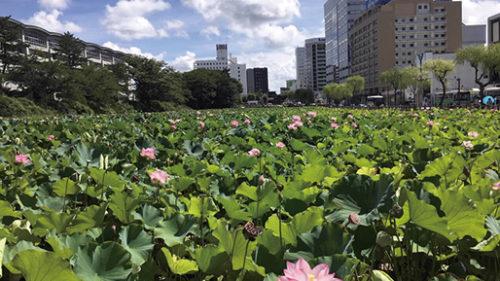 〈秋田市〉千秋公園の蓮▷人々を魅了するお堀の蓮の花