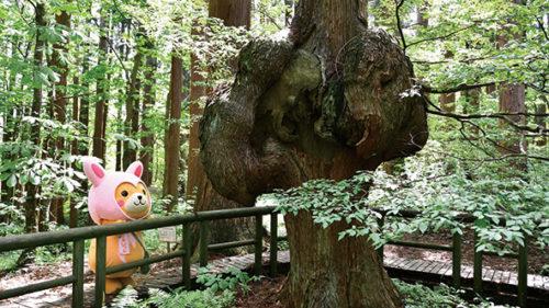 〈上小阿仁村〉コブ杉▷美しい天然杉林に「コブ」が佇む
