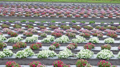 〈横手市〉たいゆう緑花園▷約10,000株の花が咲き誇る