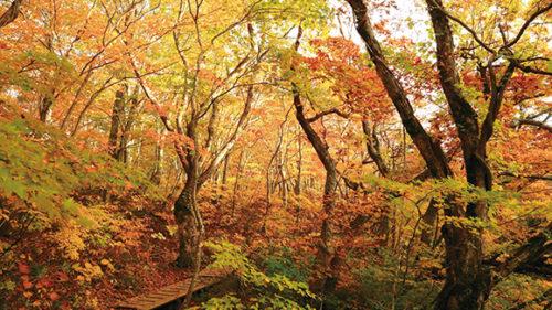 〈にかほ市〉獅子ヶ鼻湿原▷群生するブナの巨木が神秘的