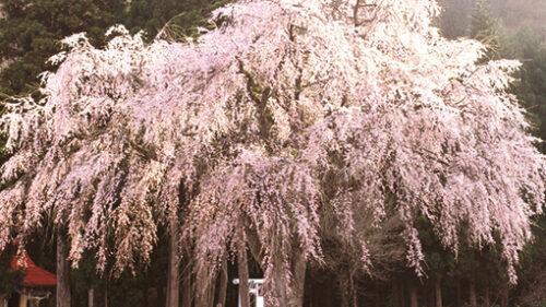〈湯沢市〉おしら様の枝垂れ桜▷優雅に咲き誇る県下有数の桜の大木