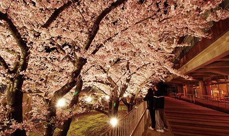 〈能代市〉能代市役所さくら庭ライトアップ▷夜桜をやさしく照らして雰囲気満点