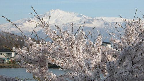 〈にかほ市〉勢至公園の桜▷いち早く春を告げる桜の名所