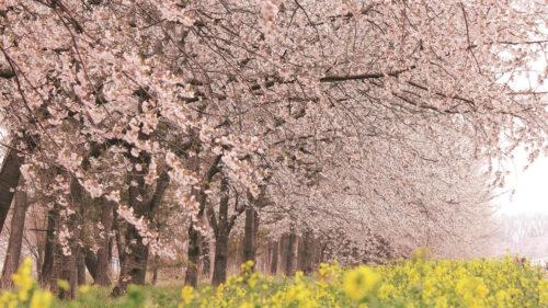 〈大潟村〉桜・菜の花ロード▷道行く人の目を楽しませる桜と菜の花のフラワーロード