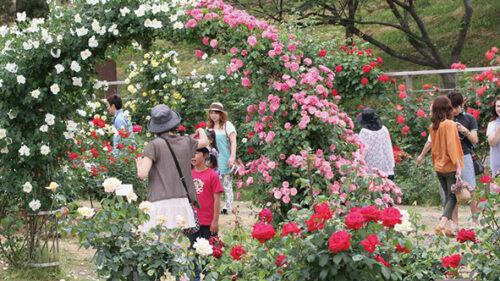 〈井川町〉日本国花苑バラ園▷園内に甘いバラの香りが漂う