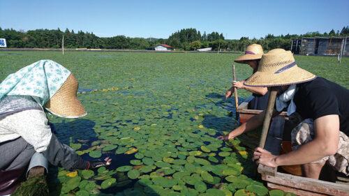 〈三種町〉じゅんさい摘み採り体験▷じゅんさい摘み採り体験で夏の思い出をつくろう