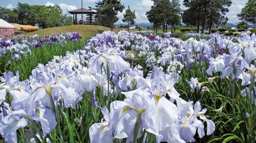 〈横手市〉浅舞公園▷咲き誇る60万本のハナショウブ
