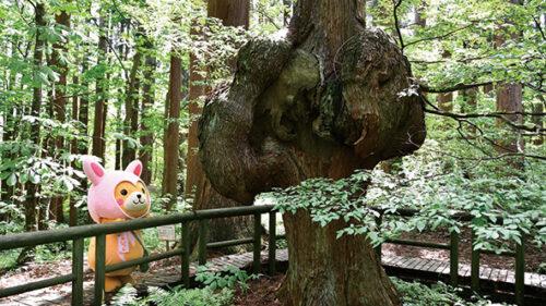 〈上小阿仁村〉コブ杉(天然秋田杉)▷幹がコブ状に盛り上がった神秘の形