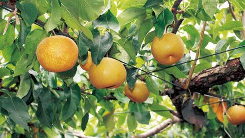 〈潟上市〉梨狩り・ブドウ狩り▷もぎたてフレッシュな絶品の果実を