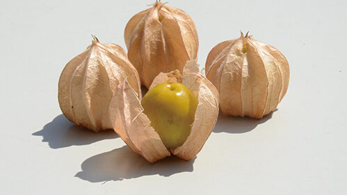 〈上小阿仁村〉フルーツほおずき「恋どろぼう」▷甘酸っぱくてフルーティーな味わい