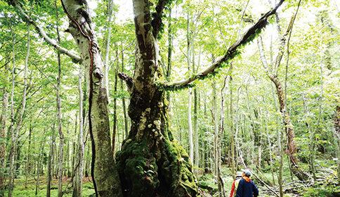 〈藤里町〉ガイドと歩く世界自然遺産白神山地ハイキング▷世界最大級のブナ林を散策しよう!