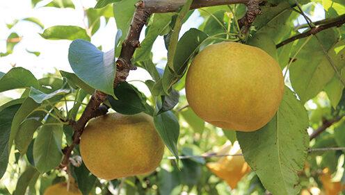 〈八峰町〉しらかみカフェ(笠原果樹園) 梨狩り体験▷秋ならではの味覚を収穫体験