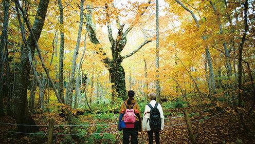 〈藤里町〉岳岱自然観察教育林▷黄金色に輝くブナの原生林を体感