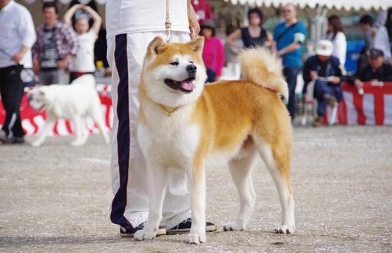 〈大館市〉第140回 秋田犬保存会本部展▷秋田犬の容姿の美しさを競い合う